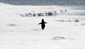 Adelie penguin (Pygoscelis adeliae) Royalty Free Stock Photos