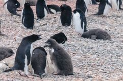 Adelie Penguin couple feeding their chick royalty free stock photography