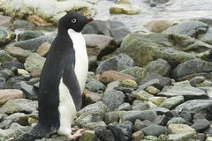 Adelie penguin on shore Royalty Free Stock Photos