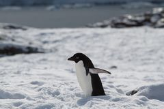 Adelie Penguin in snow Royalty Free Stock Photo