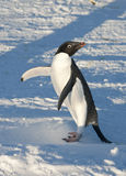 Adelie Penguin on snowy beach warming up a sunny day. Royalty Free Stock Photo