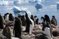 Adelie penguin squawking in colony stock image