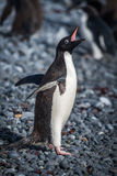 Adelie penguin squawking on grey shingle beach Stock Photography