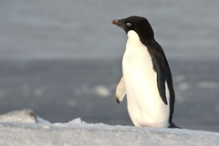 Adelie penguin standing on a slope and looking into the distance Stock Image