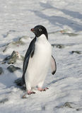 Adelie penguin standing in the snow. Adelie penguin standing in the snow among the rocks Stock Photos