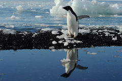 Adelie Penguin. Standing at water with reflection Royalty Free Stock Photography