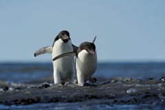 Adelie Penguin. Two Adelie Penguin coming out of the water Stock Images