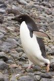 Adelie penguin walking on rocks, Paulet Island, Antarctica Stock Image
