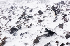 An Adelie Penguin walking on rocks Stock Photography