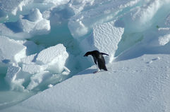 Adelie penguin wants to jump Stock Image