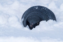 Adelie penguin who hid from the wind in the snow Royalty Free Stock Images