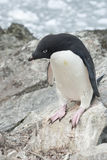 Adelie Penguin before you leap. Stock Images