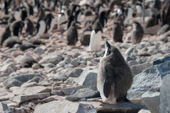 Adelie penguine taking sunbathe in Antarctica Stock Image