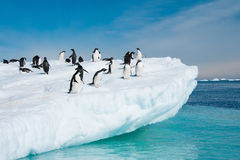 Adelie penguins που πηδά από το παγόβουνο στοκ φωτογραφία