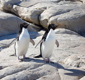 Adelie Penguins Stock Photography