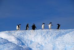 Adelie Penguins Stock Images