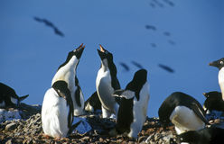Adelie penguins Royalty Free Stock Images
