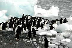 Adelie penguins. Out for a swim Royalty Free Stock Photography