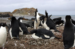 Adelie Penguins royalty free stock photography
