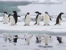 Adelie penguins on Antarctic Peninsula Stock Image