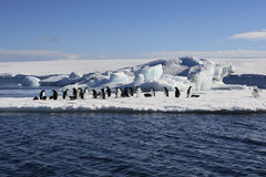 Adelie Penguins - Antarctica. Adelie Penguins on sea ice near Danko Island in Antarctica Royalty Free Stock Image