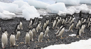 Adelie Penguins - Antarctica. Adelie Penguins on sea ice near Danko Island in Antarctica Royalty Free Stock Photo