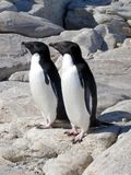 Adelie Penguins in Antarctica. A couple of Adelie Penguins, Antarctica royalty free stock photography