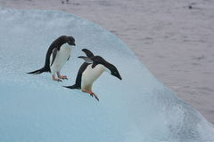 Adelie penguins on a blue iceberg Royalty Free Stock Photos