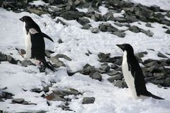 Adelie penguins climbing a hill Royalty Free Stock Photo