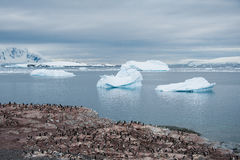 Adelie penguins colony on the beach , Antarctica Stock Image