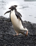 Adelie Penguins coming out of water in Antarctica Royalty Free Stock Photography