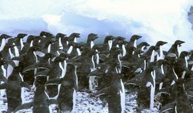 Adelie penguins, crowding the shoreline, waiting for the first brave one to dive in,. Snow storm Royalty Free Stock Photography