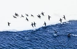 Adelie penguins exiting water. Group of Adelie penguins getting on an ice floe in a rush royalty free stock photography