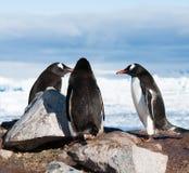 Adelie penguins having conversation Royalty Free Stock Image
