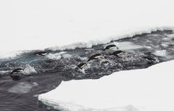 Adelie penguins. A herd of Adelie penguins racing near the ice breaker Stock Photos