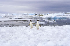 Adelie Penguins on Ice, Antarctica. Two playful adelie penguins stand on on the ice and snow in Antarctica, near Paulet Island, surrounded by the stark beauty of