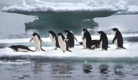 Adelie Penguins on Ice Floe in Antarctica. Adelie Penguins standing on Ice Floe in Antarctica ready to jump into the water royalty free stock photos