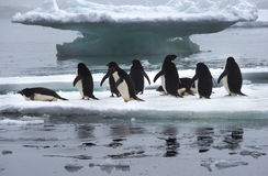 Adelie Penguins on Ice Floe in Antarctica. Adelie Penguins standing on Ice Floe in Antarctica ready to jump into the water royalty free stock image
