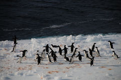 Adelie Penguins on an ice shelf in the Weddell Sea Royalty Free Stock Photo