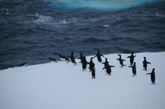 Adelie Penguins on an ice shelf in the Weddell Sea Royalty Free Stock Image