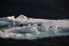 Adelie Penguins on an ice shelf in the Weddell Sea Stock Photography