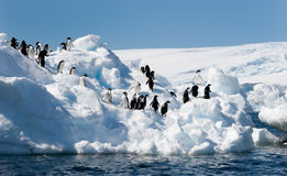 Adelie penguins on iceberg. Adelie penguins lined up on an iceberg; Commonwealth Bay, Antarctica stock photo