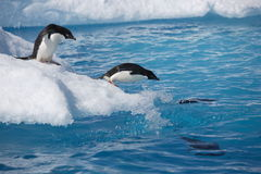 Adelie penguins on iceberg edge in Antarctica. Adelie penguins ready to dive into the ocean from an iceberg in Antarctica, with some already in the water royalty free stock photos
