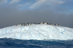 Adelie penguins on iceberg, Weddell Sea, Anarctica. Whilst out at sea during foraging trips penguins frequently rest on icebergs or take refuge there from Stock Images