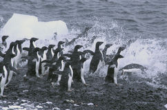 Adelie penguins, jumping into Royalty Free Stock Photos