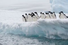Adelie penguins jumping from iceberg. This shot was made during expedition to Antarctica in January 2012. This is summer time for Antarctica Royalty Free Stock Image