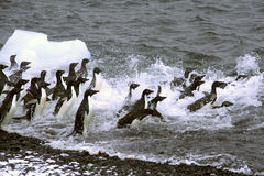 Adelie penguins, jumping into the ocean. [Pygoscelis adeliae]Brown Bluff,Antarctica Stock Photo