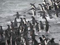 Adelie penguins jumping in water Royalty Free Stock Images