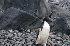 Adelie Penguins on Paulet Island stock photos