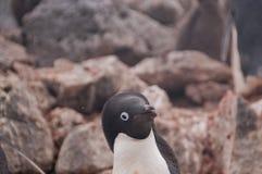 Adelie Penguins on Paulet Island Stock Photos